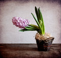 Pink hyacinth table Royalty Free Stock Photos
