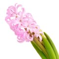 Pink hyacinth on white background see my other works in portfolio Royalty Free Stock Photo