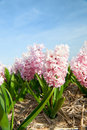 Pink Hyacinths Royalty Free Stock Photography