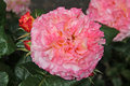 Pink hybrid tea rose photo of a beautiful growing in full summer bloom photo taken th june Stock Photography