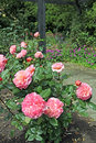 Pink hybrid tea roses photo of a beautiful rose growing in full summer bloom photo taken th june Royalty Free Stock Image
