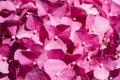 Pink Hydrangea Royalty Free Stock Photo