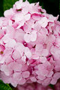 Pink hydrangea Royalty Free Stock Images