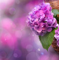 Pink hydrangea background with in Royalty Free Stock Photography