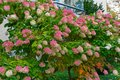 Pink hydrangea close up view to common names or hortensia Stock Photos