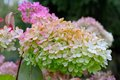 Pink hydrangea close up view to common names or hortensia Royalty Free Stock Photography