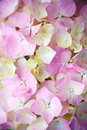 Pink hydrangea closeup image of Royalty Free Stock Photography