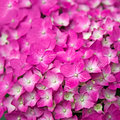 Pink Hydrangea flower Royalty Free Stock Images