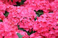 Pink hydrangea flower close up Stock Photography