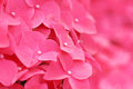 Pink hydrangea flower close up Stock Photos