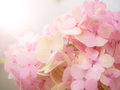 Pink Hydrangea flower Royalty Free Stock Photo