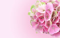 Pink Hydrangea Flowers Background