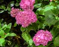 Pink hydrangea flowers. Royalty Free Stock Photo