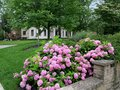 Pink hydrangea flowers in front garden Royalty Free Stock Photo