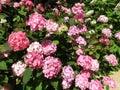 Pink Hydrangea Flowers in Summer in June Royalty Free Stock Photo