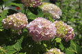 Pink hydrangea macrophylla Royalty Free Stock Photo