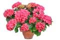 Pink hydrangea, Royalty Free Stock Photo