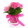 Pink Hydrangea with ribbon Stock Photos
