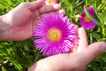 Pink ice plant beautiful flower delosperma in human hands Royalty Free Stock Photography