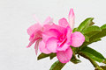 Pink impala lily flower on white background Royalty Free Stock Images