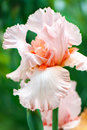Pink iris flower on green background Royalty Free Stock Photo