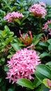 Pink Ixora Flowers