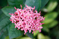 Pink ixoras flower beautiful west indian jasmine on it s plant Royalty Free Stock Photo