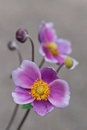 Pink japanese anemone close up of the on the gray blurred background Royalty Free Stock Photo