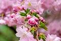 Pink Japanese Cherry Flowers C...