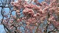 Pink japanese magnolia soulangeana blossom panorama profuse panoramic spread of an older tree in spring Stock Photos