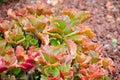 Pink kalanchoe crenata leaves in a tropical botanic garden.