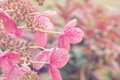 Pink lacecap hydrangea flowers selective focus on Stock Photos