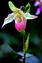 Pink ladies slipper cypripedium acaule is a member of the orchid family and grows in the wild the provincial flower of prince Royalty Free Stock Images