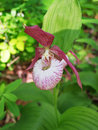 Pink lady s slipper in the forest in the south of primorsky krai russia Royalty Free Stock Photo