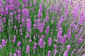 Pink lavender. A background of beautiful, decorative flowers. A concept of the beneficial properties of fragrant lavender