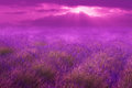 Pink lavender fields lilac and sun through clouds in surreal strong and purple tones soft and dreamy Royalty Free Stock Photos