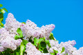 Pink lilac in blue sky at bright daylight Royalty Free Stock Images