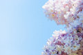 Pink lilac in blue sky at bright daylight Royalty Free Stock Photo