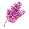 Pink lilac branch isolated on white background Royalty Free Stock Photography