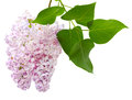 Pink lilac fresh flower with leaves isolated on white background Stock Photos