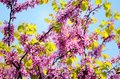 Pink Lilacs blooming flowers against Spring  blue sky Royalty Free Stock Photo