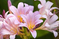 Pink lilies closeup of a bunch of in bloom Stock Images
