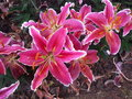 Pink lilies flower bush in the garden Royalty Free Stock Image