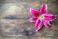 Pink liliy flower Royalty Free Stock Photo