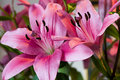 Pink lillies Royalty Free Stock Photo