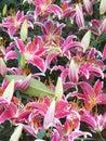 Pink lily beautiful flowers Stock Photo
