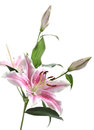Pink lily flower isolated on white background Stock Images