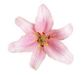 pink lily flower isolated on white Royalty Free Stock Photo