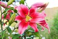 Pink lily flowers in the spring summer Stock Photo