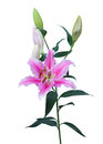 Pink lily isolated on white beautiful Royalty Free Stock Photography